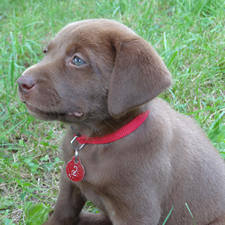 Black & Chocolate Lab Puppies For Sale!