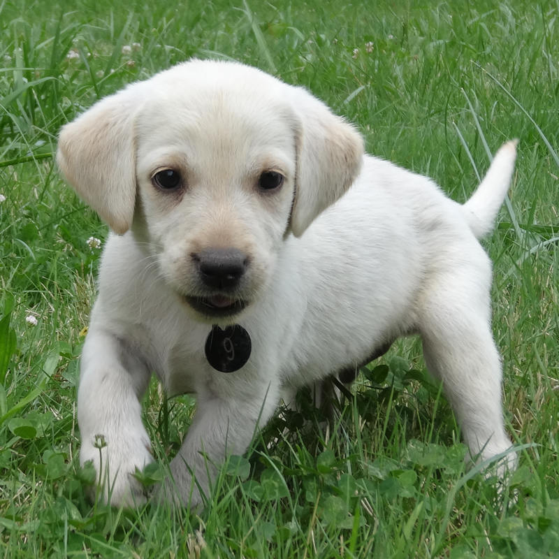 Oregon For Sale Labrador Puppies In