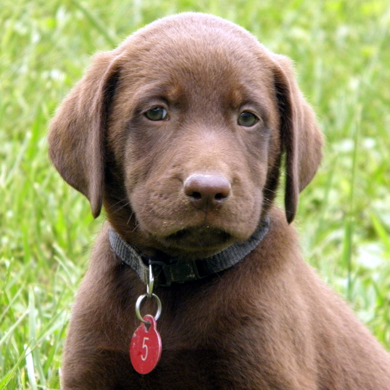 Chocolate Lab Puppies For Sale!