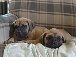 Mastador Puppies Available At Covenant Farm Puppies